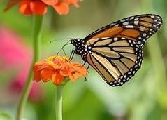Monarch (JDA-Wildlife) Tags: explored explore butterfliesetc nikon nikond7100 tamronsp150600mmf563divc jdawildlife johnny butterfly butterflymonarch monarch brilliant