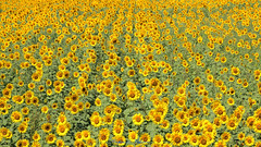 - Sunflower field  (shig.) Tags: sunflower flower flowers plant plants nature natural yellow green canon eos 70d     outdoor landscape field