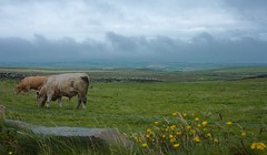 Cows in a seaside pasture (Crazyideas95) Tags: ireland eire green grass pasture cows pleasant field clouds