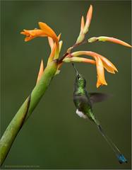 Booted racket-tail (Raymond J Barlow) Tags: ecuador green travel wildlife workshop adventure hummingbird phototours raymondbarlow flower birdinflight