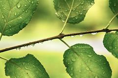Rain Drops (littlestbee) Tags: leaves nature rain raindrops wet green summer pointaurochestatepark pointauroche trailwalk naturewalk macro pointaurochestateparkny newyorkstate newyork adirondacks adirondacksnewyork adirondackcoast adirondack