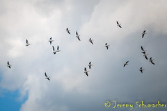 American White Pelicans (Jeremy Schumacher) Tags: american white pelican pelecanus erythrorhynchos bird animal nature wildlife flight nikon d5000