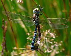 dragonflies mating common Hawkers, Aeshna juncea. (Simon Dell Photography) Tags: nature dragon flies flys mating locked longshaw estate common hawkers