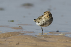 Dunlin (Paul..A) Tags: dunlin wadingbird wader shorebird scotland