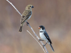 White-throated Seedeater (Sporophila albogularis) - couple (Rodrigo Conte) Tags: papacapim golinho whitethroated seedeater sporophila albogularis male macho sporophilaalbogularis brasil brazil potengi ceara brasilemimagens fantasticnature thraupidae