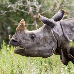 Greater one-horned rhino (billd_48) Tags: ohio summer animals captive thewilds rhinosaurus cumberland oh usa