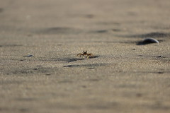 Crab (lovespraveen) Tags: beach crab sea sand