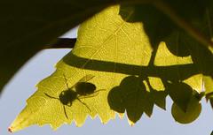 Schatten (deta k) Tags: weintrauben weinbltter bienen bee schatten shadow nikond7100 nikkor105mmf28micro macro