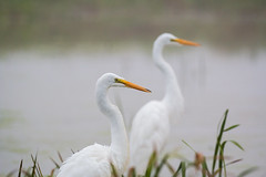 mirror image (overthemoon3) Tags: egrets birds outdoors wildlife nature fish marsh weather fog