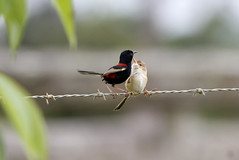 IMG_9503 (Dan Armbrust) Tags: armbrust danarmbrust queensland australia australianbirds julatten 7d cannon