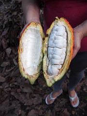 A cacao pod full of tasty fruit, Finca de Cacao (little_duckie) Tags: minca bonda colombia southamerica finca cacao waterfall cascada jungle