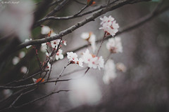 * (Wolf's kurai) Tags: canon photo wolfskurai melancholy flowers ume bokeh tree intermediate