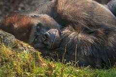 Der schlafende Riese (Fotos4RR) Tags: gorilla schmiding zooschmiding zoo tiergarten sterreich austria upper upperaustria obersterreich tier animal