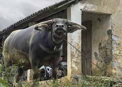 No photos please! (tmeallen) Tags: waterbuffalo bubalusbubalis largehorns earsforward sniffing badattitude ruralarea farm borderregions northvietnam sapa large culture travel bell flaringnostrils