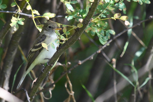 Least (?) flycatcher
