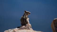 (wsumgdriver) Tags: animal caldera chipmunk craterlake craterlakenationalpark nationalpark oregon olympusem5 olympusm40150mmf28 iso100