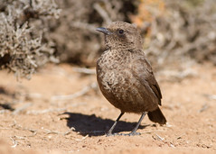 Ant-eating Chat (Myrmecocichla formicivora) (George Wilkinson) Tags: anteating chat myrmecocichlaformicivora goegap nature reserve northern cape south africa bird wildlife canon 7d 400mm