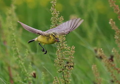Gotcha ya! (acerman17) Tags: wildlife nature flying capture inflight wagtail yellow food prey