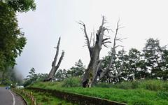 南投玉山塔塔加-夫妻樹-1 (ckenfu) Tags: 夫妻樹 玉山 塔塔加 神木