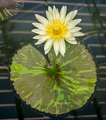 Nymphaea 'Camembert' (bric) Tags: kewgardens flowers waterlillies