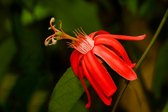 Passiflora (Pedro1742) Tags: flower passiflora red nature beauty