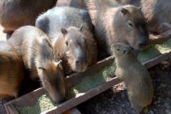 Picture of Capybaras (Tony Worrall) Tags: cumbria zoo beasts animals wild fun visit tour cumberland park sunlit cute animal collection southlakessafarizoo south lakes safari conservation daltoninfurness dalton creature beast small outdoors capybara rodent
