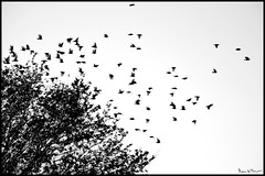 Free as a bird... (Marco.db.) Tags: b autumn winter white black tree bird nature birds nikon flight n natura bn uccelli bianco nero stormi stormo bevy flickraward mygearandme nikond5100