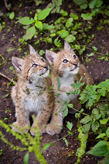 Curious (AYearsSails) Tags: cubs lynx