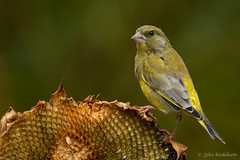Greenfinch on sunflower (John Beukeboom) Tags: bird nature fauna nikon wildlife natuur 500mm greenfinch avian vogel autofocus groenling chlorischloris tuinvogel d3s ringexcellence blinkagain dblringexcellence allnaturesparadise photographyforrecreationeliteclub flickrstruereflection1 flickrstruereflection2 flickrstruereflection3 flickrstruereflection4 flickrstruereflection5 flickrstruereflection6 flickrstruereflection7 johnbeukeboom freedomtosoarlevel1birdphotosonly freedomtosoarlevel2birdphotosonly freedomtosoarlevel3birdphotosonly freedomtosoarlevel3birdsonly freedomtosoarlevel2birdsonly freedomtosoarlevel3birsdonly
