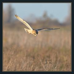 Short-eared Owl (Full Moon Images) Tags: bird nature flying wildlife hunting flight wicked short owl prey fen cambridgeshire birdofprey eared burwell shorteared