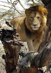 Male lion in Kenya (Sallyrango) Tags: africa nature nationalpark kenya wildlife lion safari bigfive malelion nyeri lionintree flickrbigcats soliogamepark