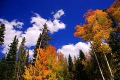 TALL GOLDEN ASPEN (ROB HARTLEY 1) Tags: travel blue autumn trees vacation sky usa fall nature colors beautiful clouds landscape nikon day cloudy outdoor awesome beautifullight incredible impressive rockymountainnationalpark