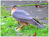 "Sparrowhawk with food! (macfudge1UK) Tags: uk winter england food male bird nature leaves fauna europe kill britain path wildlife ngc raptor gb oxfordshire avian birdofprey 2012 sparrowhawk oxon birdwatcher rspb eurasiansparrowhawk accipiternisus coth britishbirds ©allrightsreserved britishbird xs1 goldwildlife 100commentgroup thewonderfulworldofbirds ""flickraward"" blinkagain bbcwinterwatch rspblovesnature fujixs1 fujifilmxs1 rspbgreenstatus fujifilmfinepixxs1 finepixxs1"