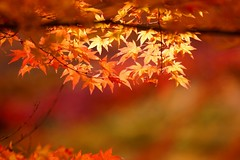 Colored leaves of Nanzen-ji Temple/ (nobuflickr) Tags: autumn nature japan kyoto autumncolors       nanzenjitemple  20121128c03417