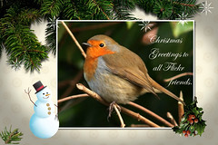 Christmas Greetings. (Blossom's mom) Tags: robin garden christmasgreeting lovelylovelyphoto