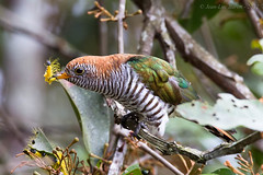 Asian Emerald Cuckoo (Chrysococcyx maculatus) (Jeluba) Tags: bird nature canon thailand asia wildlife aves ornithology birdwatching oiseau specanimal asianemeraldcuckoo chrysococcyxmaculatus coucouémeraude prachtkuckuck