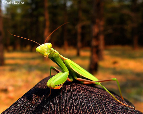Photo - Mantis