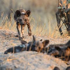 "Wild Dog Pubs in Okavango Delta, Botswana • <a style=""font-size:0.8em;"" href=""https://www.flickr.com/photos/21540187@N07/8294358020/"" target=""_blank"">View on Flickr</a>"