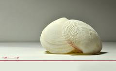 shell (aniribe) Tags: light white macro closeup nikon creative shell