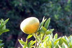 _ (Elosa Rodrigues) Tags: green fruit lemon gex5