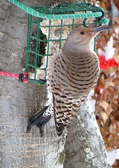 Cautiously hungry (diffuse) Tags: red brown white snow tree green leaves female backyard berries fat lichen bungee suet flicker mountainash northernflicker 12dec22b