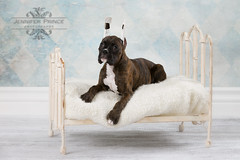 IMG_1875-Edit- J Prince.jpg (princer7) Tags: dog puppy duke boxer brindle turo