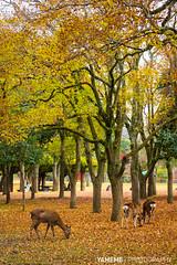 with Deer / Nara, Japan (yameme) Tags: travel nature animal japan canon eos maple deer  nara kansai       24105mmlis 5d3 5dmarkiii