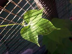a leaf of Morning glory Heavenly blue (som300) Tags: plant leaf morning glory motorola zn5
