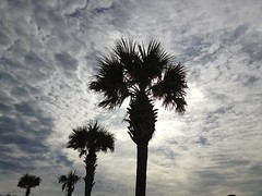 Palm Christmas (beachkat1) Tags: christmas beach palms florida palmtrees pcb panamacitybeach uploaded:by=flickrmobile flickriosapp:filter=nofilter