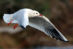 J77A1641 -- Black-headed Gull in flight on Christmas Day (Nils Axel Braathen -- Thanks a lot for +200K views) Tags: france nature birds canon wildlife fugler oiseaux blackheadedgull levsinet mouetterieuse hettemke vogeln chroicocephalusridibundus mygearandme mygearandmepremium mygearandmebronze mygearandmesilver mygearandmegold mygearandmeplatinum mygearandmediamond rememberthatmomentlevel1 flickrsfinestimages1 flickrsfinestimages2 flickrsfinestimages3 rememberthatmomentlevel2 rememberthatmomentlevel3 vigilantphotographersunite vpu2 vpu3 vpu4 vpu5 vpu6 vpu7 vpu8 vpu9 vpu10