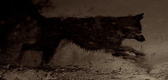 Tundra (Timoleon Vieta II) Tags: world christmas xmas light portrait bw dog water rising wolf flood path tide changing voda riverine волк timoleon ldlnoir