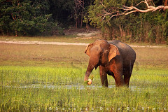 Dinner (Sara-D) Tags: nature animals forest nationalpark asia wildlife sl lanka jungle elephants srilanka ceylon lk aliya maximus wildanimals southasia elephasmaximus sarad serendib elephas wilpattu elephasmaximusmaximus saranga wildelephants dealwis wilpattunationalpark sarangadeva panikkawila