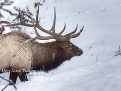 bullelksnow004 (Deby Dixon) Tags: travel nature landscape photography nationalpark wolf wildlife moose fox yellowstonenationalpark wyoming bison wyo bullelk debydixonphotography
