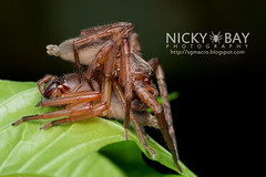 Huntsman Spider (Thelcticopis sp.) - DSC_3383 (nickybay) Tags: macro spider singapore mating huntsman sparassidae thelcticopis venusdrive